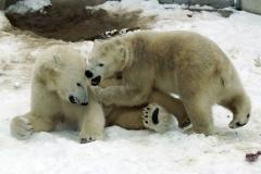 013-ouwehandsdierenpark2009ijsberen
