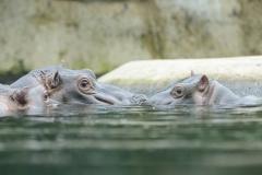 005-zooberlin2010nijlpaarden