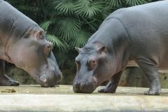 011-zooberlin2010nijlpaarden