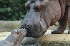 018-zooberlin2010nijlpaarden