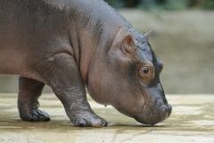 023-zooberlin2010nijlpaarden