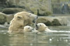 029-ouwehandsdierenpark2012ijsberen