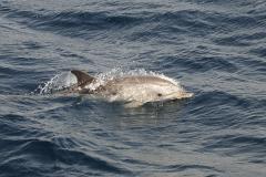 006-straat-gibraltar2012gestreeptedolfijnen