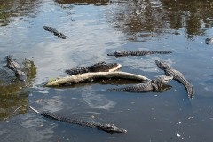 038-alligatorfarm2017